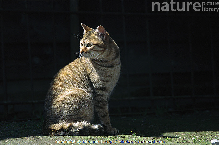Domestic Cat (Felis catus) portrait of alert adult Tabby cat sitting on the ground, Adult, Alert, Color Image, Day, Domestic Cat, Felis catus, Full Length, Horizontal, Looking Back, Nobody, One Animal, Outdoors, Photography, Side View, Sitting,Domestic Cat, Mitsuaki Iwago
