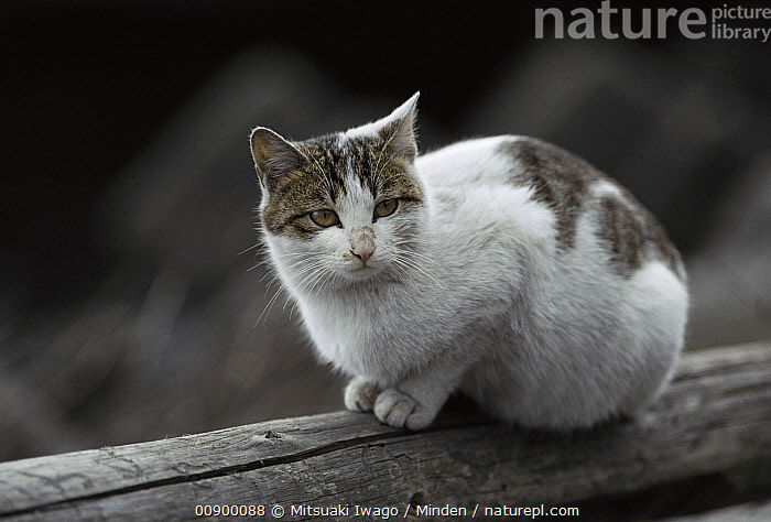 Domestic Cat (Felis catus) portrait of resting adult Calico cat  ,  Adult, Calico, Color Image, Day, Domestic Cat, Felis catus, Front View, Full Length, Horizontal, Nobody, One Animal, Outdoors, Photography, Resting,Domestic Cat  ,  Mitsuaki Iwago