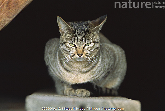 Domestic Cat (Felis catus) front view of resting Tabby cat with green eyes  ,  Adult, Color Image, Day, Domestic Cat, Felis catus, Front View, Full Length, Green, Horizontal, Looking at Camera, Nobody, One Animal, Outdoors, Photography,Domestic Cat  ,  Mitsuaki Iwago