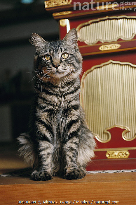 Domestic Cat (Felis catus) portrait of adult long-haired Tabby house cat, Adult, Color Image, Day, Domestic Cat, Felis catus, Front View, Full Length, Grey, House, Indoors, Long, Looking at Camera, Nobody, One Animal, Outdoors, Photography, Sitting, Striped, Vertical,Domestic Cat, Mitsuaki Iwago