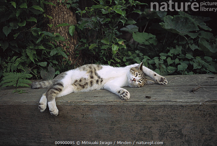 Domestic Cat (Felis catus) relaxing on its back on a bench in a garden with its paws stretched up over its head, Adult, Color Image, Day, Domestic Cat, Felis catus, Full Length, Horizontal, Humor, Lying, Nobody, One Animal, Outdoors, Paw, Photography, Relaxing, Side View,Domestic Cat, Mitsuaki Iwago