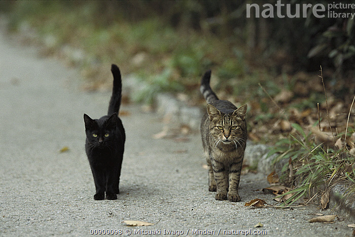 Domestic Cat (Felis catus) two alert adults, a black cat and a Tabby, walking down a path side by side with tails raised, Adult, Alert, Black, Color Image, Day, Domestic Cat, Felis catus, Front View, Full Length, Horizontal, Looking at Camera, Nobody, Outdoors, Photography, Road, Tail, Two Animals, Up,Domestic Cat, Mitsuaki Iwago