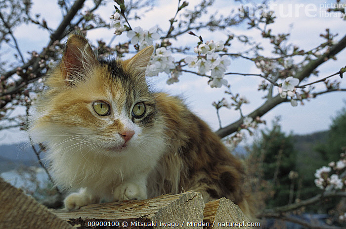 Domestic Cat (Felis catus) adult Calico on wood pile near blossoming tree, Adult, Alert, Blooming, Calico, Close Up, Color Image, Day, Domestic Cat, Felis catus, Flower, Front View, Full Length, Horizontal, Nobody, One Animal, Outdoors, Photography, Resting, Spring,Domestic Cat, Mitsuaki Iwago