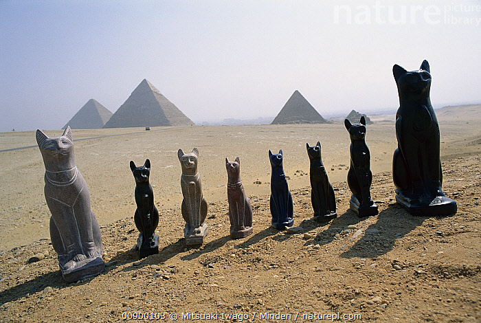 Domestic Cat (Felis catus) statues lined up in the desert with Egyptian pyramids in the background, Egypt, Ancient, Color Image, Day, Domestic Cat, Ecotourism, Egypt, Felis catus, Front View, Full Length, Horizontal, Line, Medium Group of Objects, Nobody, Outdoors, Photography, Pyramid, Statue,Domestic Cat,Egypt, Mitsuaki Iwago