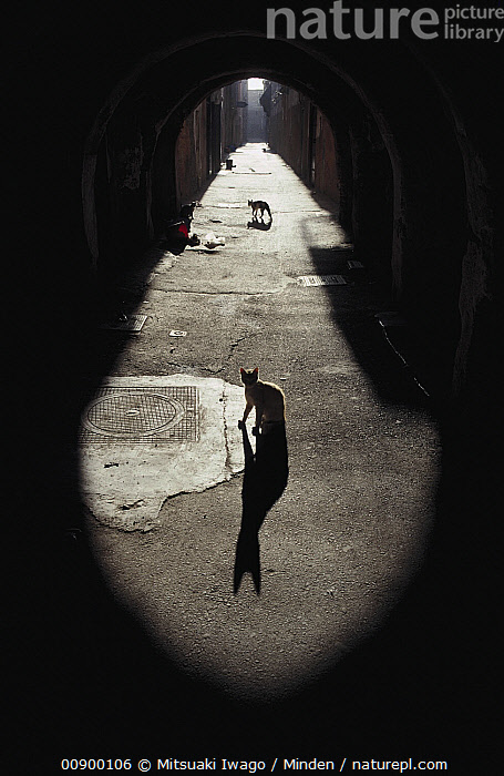 Domestic Cat (Felis catus) backlit stray cats in an alley, Alley, Back-lit, City, Color Image, Day, Domestic Cat, Felis catus, Full Length, Nobody, Outdoors, Photography, Shadow, Side View, Stray, Street, Two Animals, Vertical,Domestic Cat, Mitsuaki Iwago