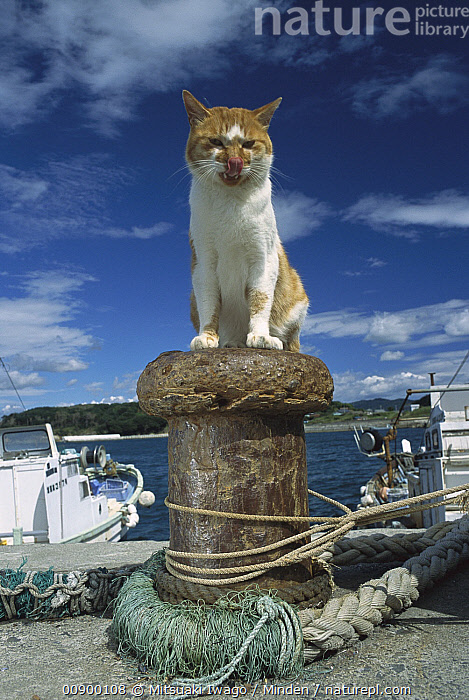 Domestic Cat (Felis catus) adult sitting on a dock piling licking it's nose, Adult, Boat, Color Image, Day, Dock, Domestic Cat, Felis catus, Front View, Full Length, Hungry, Licking, Looking at Camera, Low Angle View, Nobody, Nose, One Animal, Orange, Outdoors, Photography, Piling, Stray, Tongue, Vertical, White,Domestic Cat, Mitsuaki Iwago