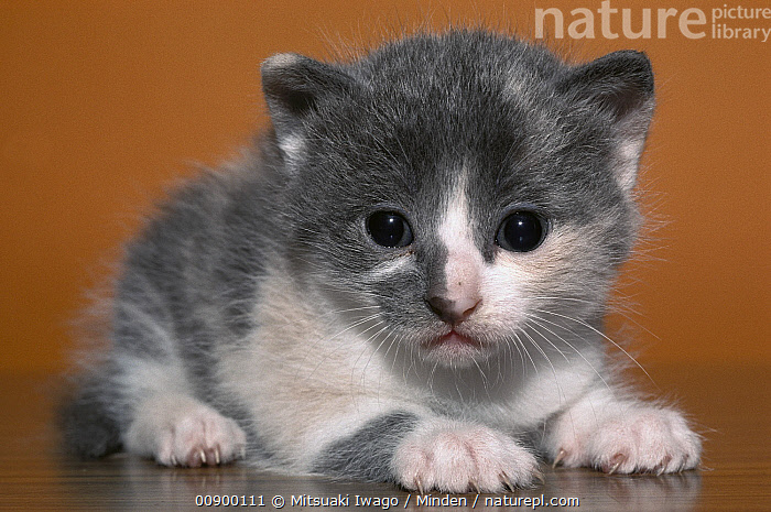 Domestic Cat (Felis catus) grey and white kitten, Close Up, Color Image, Cute, Day, Domestic Cat, Felis catus, Front View, Full Length, Grey, Horizontal, Indoors, Kitten, Looking at Camera, Nobody, One Animal, Photography, White,Domestic Cat, Mitsuaki Iwago