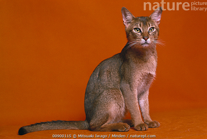 Domestic Cat (Felis catus) adult Abyssinian sitting, Abyssinian Cat, Adult, Color Image, Day, Domestic Cat, Felis catus, Full Length, Horizontal, Indoors, Looking at Camera, Nobody, One Animal, Photography, Side View, Sitting, Studio,Domestic Cat, Mitsuaki Iwago