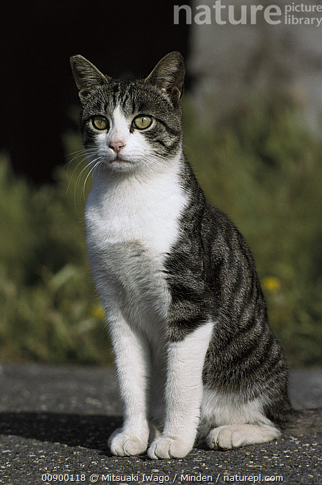 Domestic Cat (Felis catus) adult sitting, Adult, Alert, Back-lit, Color Image, Day, Domestic Cat, Felis catus, Front View, Full Length, Looking at Camera, Nobody, One Animal, Outdoors, Photography, Resting, Sitting, Vertical,Domestic Cat, Mitsuaki Iwago