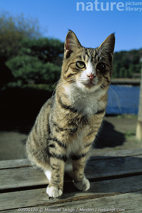 Domestic Cat (Felis catus) adult Tabby cat sitting, Adult, Alert, Color Image, Day, Domestic Cat, Felis catus, Front View, Full Length, Looking at Camera, Nobody, One Animal, Outdoors, Photography, Resting, Sitting, Striped, Vertical,Domestic Cat, Mitsuaki Iwago