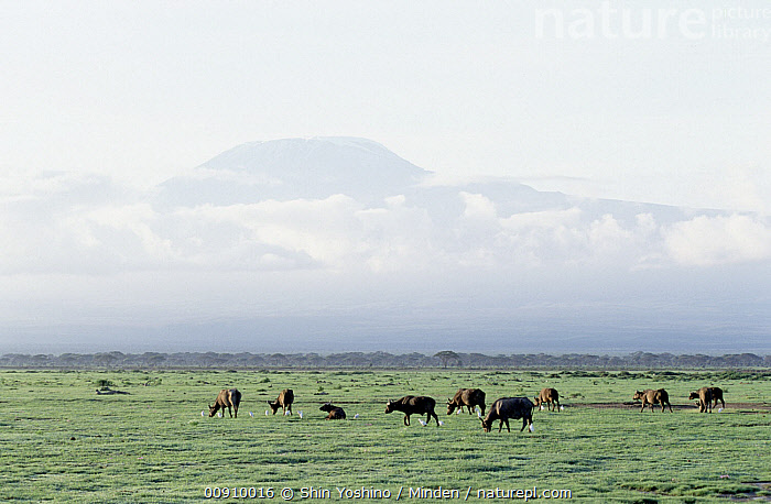 Cape Buffalo (Syncerus caffer) herd grazing, Amboseli National Park, Kenya, Adult, African Buffalo, Amboseli National Park, Amboseli, Animal in Landscape, Cape Buffalo, Color Image, Day, Full Length, Grazing, Herd, Horizontal, Kenya, Large Group of Animals, Nobody, Outdoors, Photography, Side View, Syncerus caffer, Wildlife,Cape Buffalo,Kenya, Shin Yoshino