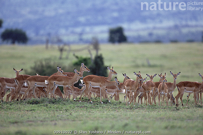 Impala (Aepyceros melampus) herd on grasslands, east Africa, Adult, Aepyceros melampus, Africa, Antelope, Color Image, Day, Female, Full Length, Grassland, Herd, Horizontal, Impala, Large Group of Animals, Nobody, Outdoors, Photography, Side View, Wildlife,Impala,Africa, Shin Yoshino