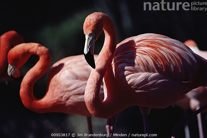 Flamingo (Phoenicopterus sp) pair  ,  Captive, Close Up, Color Image, Day, Flamingo, Horizontal, ILCP, Nobody, Outdoors, Phoenicopterus sp, Photography, Pink, Side View, Three Quarter Length, Two Animals, Wildlife,Flamingo  ,  Jim Brandenburg