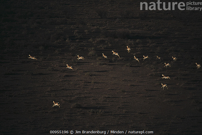 Springbok (Antidorcas marsupialis) herd running over plain, Namibia  ,  Adult, Aerial View, Antidorcas marsupialis, Antelope, Color Image, Day, Full Length, Herd, High Angle View, Horizontal, ILCP, Large Group of Animals, Namibia, Nobody, Outdoors, Photography, Plain, Rear View, Running, Side View, Springbok, Wildlife,Springbok,Namibia  ,  Jim Brandenburg