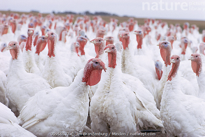 Domestic Turkey (Meleagris gallopavo) group on a farm  ,  Adult, Close Up, Color Image, Crowding, Day, Domestic Turkey, Farm, Front View, Game Bird, Gamebird, Horizontal, ILCP, Large Group of Animals, Meleagris gallopavo, Nobody, Outdoors, Photography, Side View,Domestic Turkey  ,  Jim Brandenburg