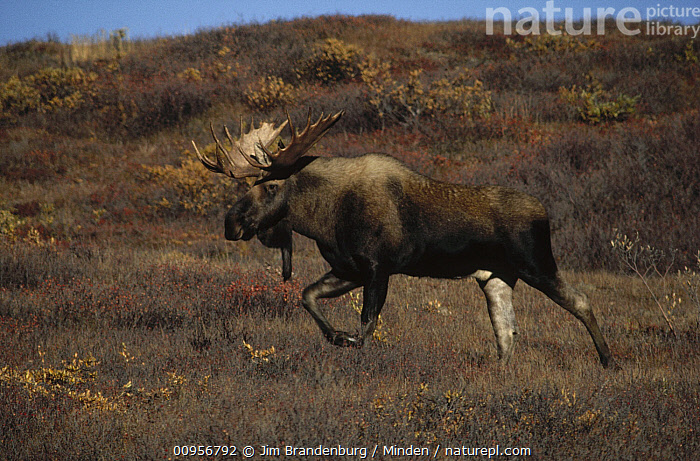 Alaska Moose (Alces alces gigas) male walking through autumn colored tundra, Alaska, Adult, Alces alces gigas, Alaska, Autumn, Bull, Color Image, Day, Full Length, Horizontal, ILCP, Male, Moose, Nobody, One Animal, Outdoors, Photography, Side View, USA, Wildlife,Alaska Moose,Alaska, USA, Jim Brandenburg