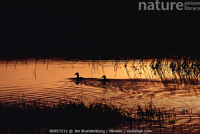 Duck (Anas sp) group silhouetted at sunset in prairie pothole, North America  ,  Adult, Anas sp, Color Image, Day, Duck, Full Length, Horizontal, ILCP, Nobody, North America, Outdoors, Photography, Side View, Sunset, Two Animals, Water, Waterfowl, Wetland Habitat, Wildlife,Duck,North America  ,  Jim Brandenburg