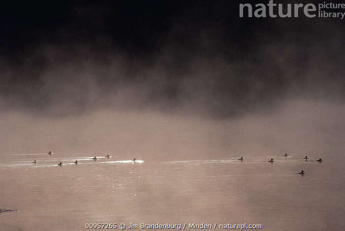 Duck (Anas sp) group on misty lake, Yellowstone National Park, Wyoming, Anas sp, Color Image, Day, Duck, Horizontal, ILCP, Lake, Large Group of Animals, Mist, Nobody, Outdoors, Photography, Silhouette, USA, Water, Waterfowl, Wyoming, Yellowstone National Park,Duck,Wyoming, USA, Jim Brandenburg