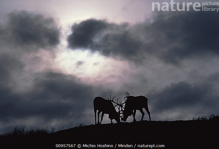 Caribou (Rangifer tarandus) pair fighting, Alaska, Adult, Aggression, Alaska, Caribou, Color Image, Competition, Day, Fighting, Full Length, Horizontal, ILCP, Male, Nobody, Outdoors, Photography, Rangifer tarandus, Side View, Silhouette, Sky, Storm, Two Animals, USA, Wildlife,Caribou,Alaska, USA, Michio Hoshino
