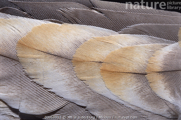 Sandhill Crane (Grus canadensis) feathers  ,  Abstract, Close Up, Color Image, Crane, Day, Detail, Feather, Full Frame, Grus canadensis, Horizontal, ILCP, Large Group of Objects, Nature Pattern, Nobody, Outdoors, Photography, Sandhill Crane, Wildlife,Sandhill Crane  ,  Jim Brandenburg