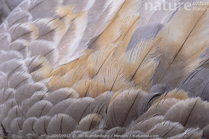 Sandhill Crane (Grus canadensis) feathers  ,  Abstract, Close Up, Color Image, Crane, Day, Detail, Feather, Full Frame, Grus canadensis, Horizontal, ILCP, Large Group of Objects, Nature Pattern, Nobody, Outdoors, Photography, Sandhill Crane, Wildlife, Wing,Sandhill Crane  ,  Jim Brandenburg