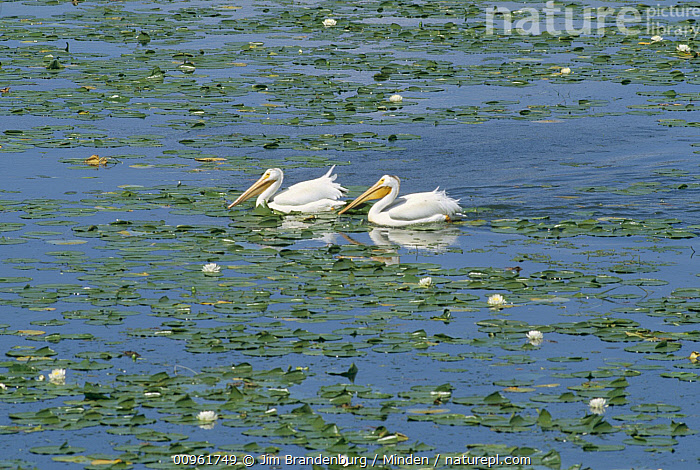 American White Pelican (Pelecanus erythrorhynchos) pair on lake surrounded by water lilies, Minnesota, Adult, American White Pelican, Animal in Habitat, Color Image, Day, Full Length, Horizontal, ILCP, Lake, Minnesota, Nobody, Outdoors, Pelecanus erythrorhynchos, Photography, Seabird, Side View, Two Animals, USA, Water, Wildlife,American White Pelican,Minnesota, USA, Jim Brandenburg