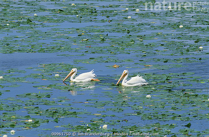 American White Pelican (Pelecanus erythrorhynchos) pair on lake surrounded by water lilies, Minnesota  ,  Adult, American White Pelican, Color Image, Day, Full Length, Horizontal, ILCP, Lake, Minnesota, Nobody, Outdoors, Pelecanus erythrorhynchos, Photography, Seabird, Side View, Two Animals, USA, Water, Wildlife,American White Pelican,Minnesota, USA  ,  Jim Brandenburg