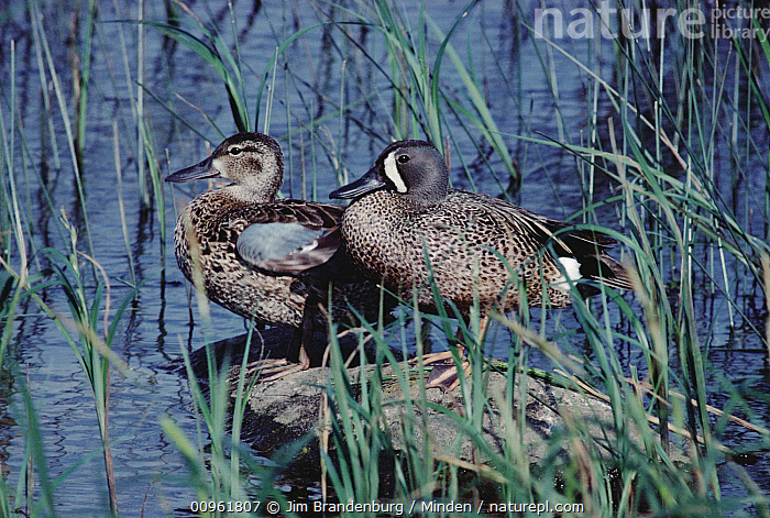 Blue-winged Teal (Anas discors) male and female, Minnesota  ,  Adult, Anas discors, Blue-winged Teal, Color Image, Day, Dimorphic, Drake, Duck, Female, Full Length, Horizontal, ILCP, Male, Minnesota, Nobody, Outdoors, Photography, Side View, Two Animals, USA, Waterfowl, Wildlife,Blue-winged Teal,Minnesota, USA  ,  Jim Brandenburg