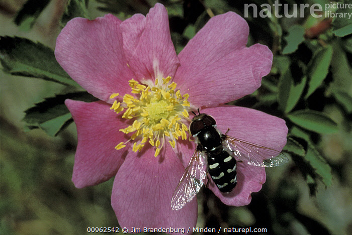 Hoverfly (Syrphidae) mimic of a bee, on a Prairie Rose (Rosa suffulta), North America  ,  Adult, Close Up, Collecting, Color Image, Day, Flower, Foraging, Full Length, Horizontal, Hoverfly, ILCP, Insect, Mimic, Nobody, North America, One Animal, Outdoors, Photography, Prairie Rose, Rosa suffulta, Syrphidae, Top View, Wildlife,Hoverfly,Prairie Rose,Rosa suffulta,North America  ,  Jim Brandenburg