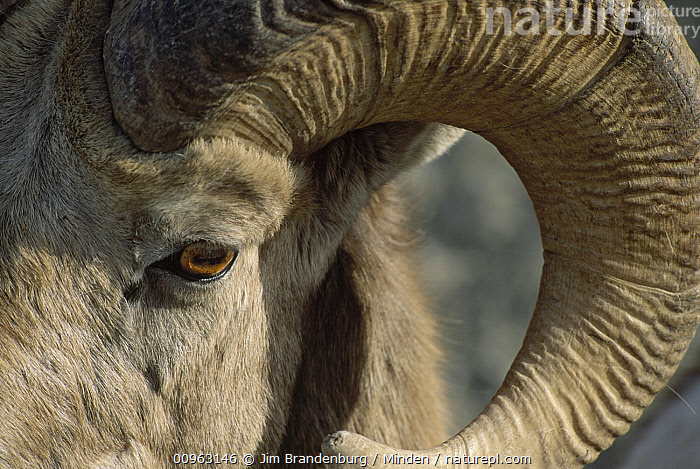 Bighorn Sheep (Ovis canadensis) face, Banff National Park, Alberta, Canada, Adult, Alberta, Banff National Park, Bighorn Sheep, Canada, Close Up, Color Image, Day, Head and Shoulders, Horizontal, ILCP, Male, Nobody, One Animal, Outdoors, Ovis canadensis, Photography, Portrait, Side View, Wildlife,Bighorn Sheep,Canada, Jim Brandenburg