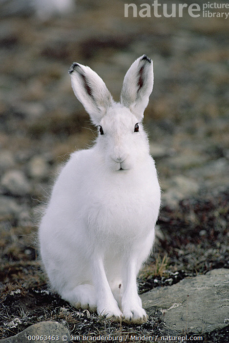 Arctic Hare (Lepus arcticus) in winter coat, Ellesmere Island, Nunavut, Canada, Adult, Arctic Hare, Arctic, Canada, Close Up, Color Image, Cute, Day, Ellesmere Island, Front View, Full Length, ILCP, Lepus arcticus, Looking at Camera, Nobody, Nunavut, One Animal, Outdoors, Photography, Polar Climate, Vertical, White, Wildlife, Winter Coat,Arctic Hare,Canada, Jim Brandenburg