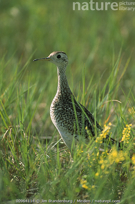 Upland Sandpiper (Bartramia longicauda) standing among green prairie grasses, South Dakota  ,  Adult, Alert, Bartramia longicauda, Color Image, Day, Full Length, Grassland, ILCP, Nobody, One Animal, Outdoors, Photography, Shorebird, Side View, South Dakota, Standing, Upland Sandpiper, USA, Vertical, Wildlife,Upland Sandpiper,South Dakota, USA  ,  Jim Brandenburg