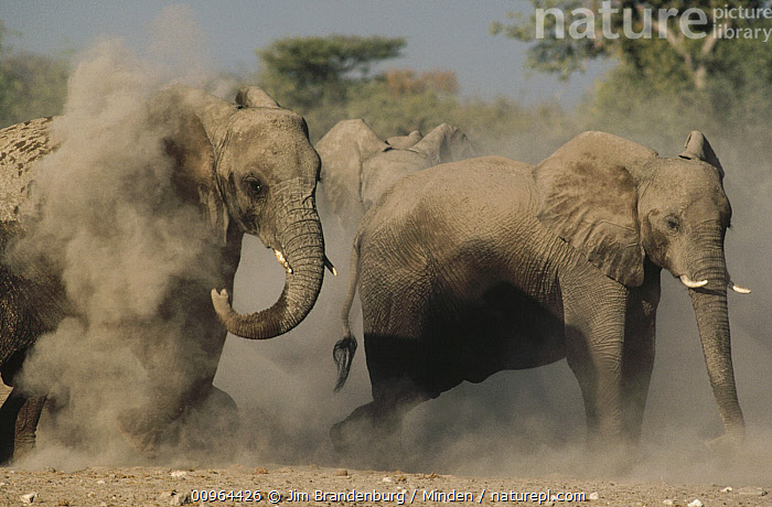 African Elephant (Loxodonta africana) pair taking a dust bath, Etosha National Park, Namibia, African Elephant, Color Image, Day, Dusting, Etosha National Park, Full Length, Horizontal, ILCP, Juvenile, Loxodonta africana, Namibia, Nobody, Outdoors, Photography, Side View, Threatened Species, Two Animals, Vulnerable Species, Wildlife,African Elephant,Namibia, Jim Brandenburg