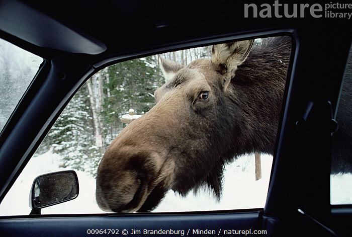 Moose (Alces alces andersoni) female looking in car window during winter, the animals lick salt off of cars, Minnesota, Adult, Alces alces andersoni, Car, Close Up, Color Image, Curiosity, Day, Female, Head and Shoulders, Horizontal, Humor, ILCP, Minnesota, Moose, Nobody, One Animal, Outdoors, Photography, Side View, USA, Wildlife, Winter,Moose,Minnesota, USA, Jim Brandenburg
