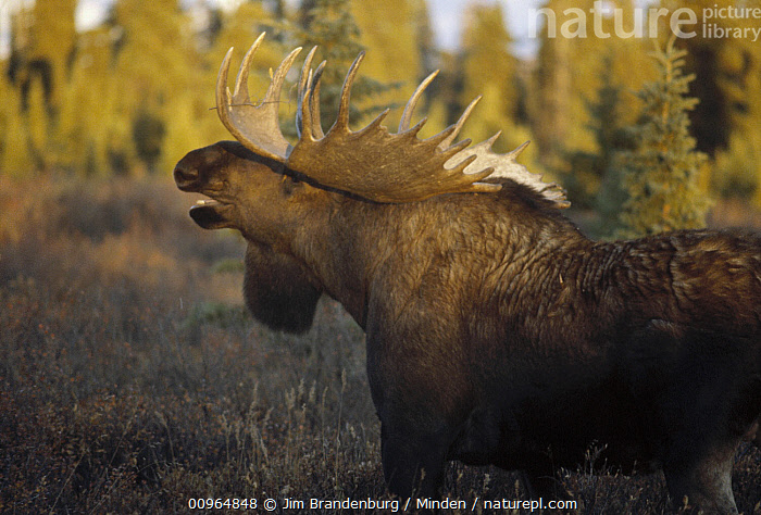 Alaska Moose (Alces alces gigas) male calling during rut, Alaska, Adult, Alces alces gigas, Alaska, Bull, Calling, Color Image, Day, Horizontal, ILCP, Male, Moose, Nobody, One Animal, Outdoors, Photography, Rut, Side View, Three Quarter Length, USA, Wildlife,Alaska Moose,Alaska, USA, Jim Brandenburg