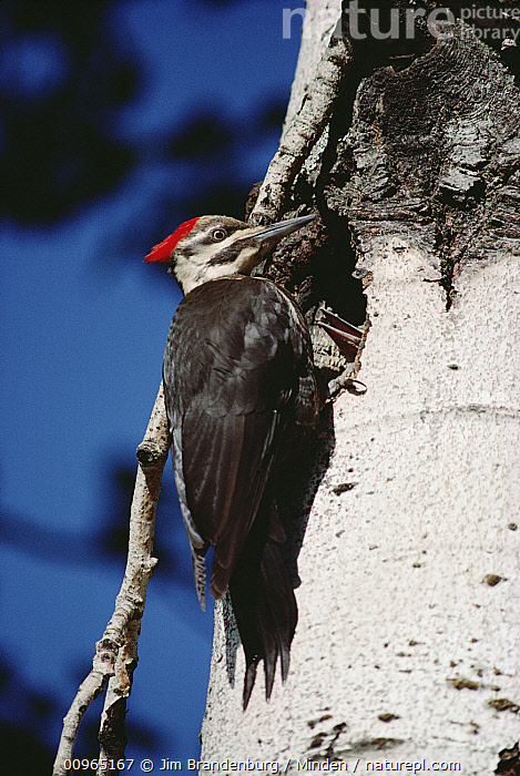 Pileated Woodpecker (Dryocopus pileatus) at nest, Adult, Close Up, Color Image, Day, Dryocopus pileatus, Full Length, ILCP, Low Angle View, Nest, Nest Cavity, Nobody, One Animal, Outdoors, Parent, Perching, Photography, Pileated Woodpecker, Side View, Vertical, Wildlife,Pileated Woodpecker, Jim Brandenburg