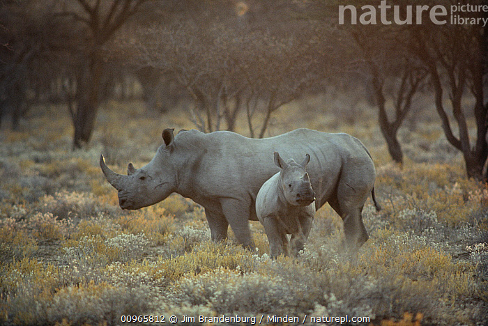 White Rhinoceros (Ceratotherium simum) mother with young, South Africa, Adult, Baby, Ceratotherium simum, Color Image, Day, Female, Front View, Full Length, Horizontal, ILCP, Mother, Nobody, Outdoors, Photography, Side View, South Africa, Two Animals, White Rhinoceros, Wildlife,White Rhinoceros,South Africa, Jim Brandenburg