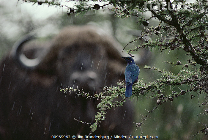 Cape Buffalo (Syncerus caffer) and Greater Blue-eared Glossy-Starling (Lamprotornis chalybaeus) in the rain, Kenya, Adult, African Buffalo, Cape Buffalo, Color Image, Day, Difference, Greater Blue-eared Glossy-Starling, Head and Shoulders, Horizontal, ILCP, Kenya, Lamprotornis chalybaeus, Nobody, Outdoors, Photography, Portrait, Rain, Rear View, Songbird, Syncerus caffer, Two Animals, Wildlife,Cape Buffalo,Greater Blue-eared Glossy-Starling,Lamprotornis chalybaeus,Kenya, Jim Brandenburg