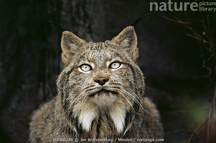 Canada Lynx (Lynx canadensis) portrait, North America, Adult, Alert, Canada Lynx, Captive, Close Up, Color Image, Day, Front View, Head and Shoulders, Horizontal, ILCP, Looking at Camera, Lynx canadensis, Nobody, One Animal, Outdoors, Photography, Portrait, Wildlife,Canada Lynx,North America, Jim Brandenburg