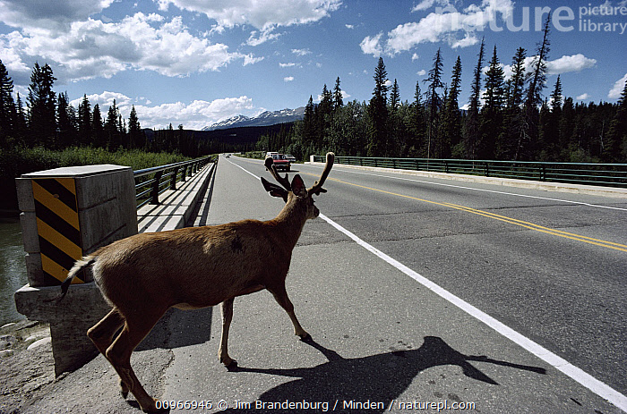White-tailed Deer (Odocoileus virginianus) about to cross road in front of a moving vehicle, Banff Jasper Highway, Canada, Adult, Alberta, Banff Jasper Highway, Buck, Canada, Car, Color Image, Crossing, Danger, Day, Full Length, Highway, Horizontal, ILCP, Male, Nobody, Odocoileus virginianus, One Animal, Outdoors, Photography, Rear View, Urban, White-tailed Deer, Wildlife,White-tailed Deer,Canada, Jim Brandenburg