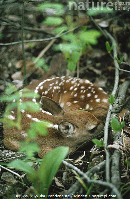 White-tailed Deer (Odocoileus virginianus) fawn curled up on forest floor, Minnesota  ,  Baby, Close Up, Color Image, Day, Fawn, Full Length, Hiding, ILCP, Minnesota, Nobody, Odocoileus virginianus, One Animal, Outdoors, Photography, Resting, Side View, USA, Vertical, White-tailed Deer, Wildlife,White-tailed Deer,Minnesota, USA  ,  Jim Brandenburg