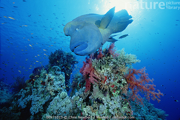 Double-headed Maori Wrasse (Cheilinus undulatus) swimming over coral reef, Red Sea, Egypt  ,  Cheilinus undulatus, Close Up, Color Image, Coral Reef, Day, Double-headed Maori Wrasse, Endangered Species, Front View, Full Length, Horizontal, Large, Large Group of Animals, Napoleon Wrasse, Nobody, Photography, Red Sea, Underwater, Wildlife,Double-headed Maori Wrasse,Red Sea  ,  Chris Newbert