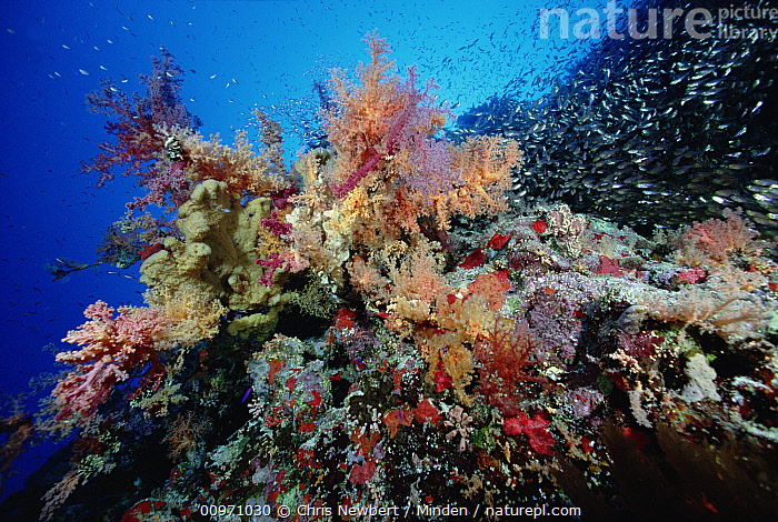Soft Coral (Dendronephthya sp) in coral reef, Red Sea, Egypt  ,  Biodiversity, Close Up, Color Image, Colorful, Coral Reef, Day, Dendronephthya sp, Full Length, Horizontal, Large Group of Animals, Nobody, Photography, Red Sea, Soft Coral, Underwater, Wildlife,Soft Coral,Red Sea  ,  Chris Newbert