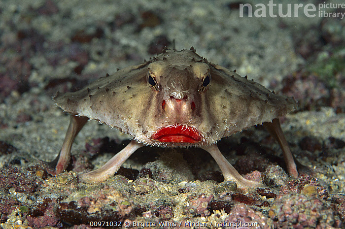 Rosy-lipped Batfish (Ogcocephalus porrectus), Cocos Island, Costa Rica, Adult, Cocos Island, Color Image, Costa Rica, Fish, Front View, Horizontal, Humor, Lip, Looking at Camera, Nobody, Ogcocephalus porrectus, One Animal, Photography, Red, Rosy-lipped Batfish, Underwater, Wildlife,Rosy-lipped Batfish,Costa Rica, Birgitte Wilms