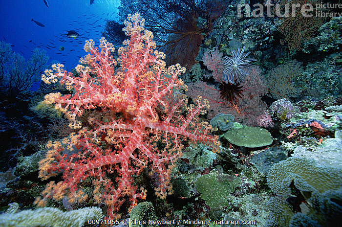 Soft Coral (Dendronephthya sp) outcroppings on coral reef, Solomon Islands, Close Up, Color Image, Colorful, Coral Reef, Dendronephthya sp, Horizontal, Large Group of Animals, Nobody, Photography, Soft Coral, Solomon Islands, South Pacific, Underwater, Wildlife,Soft Coral,Solomon Islands, Chris Newbert