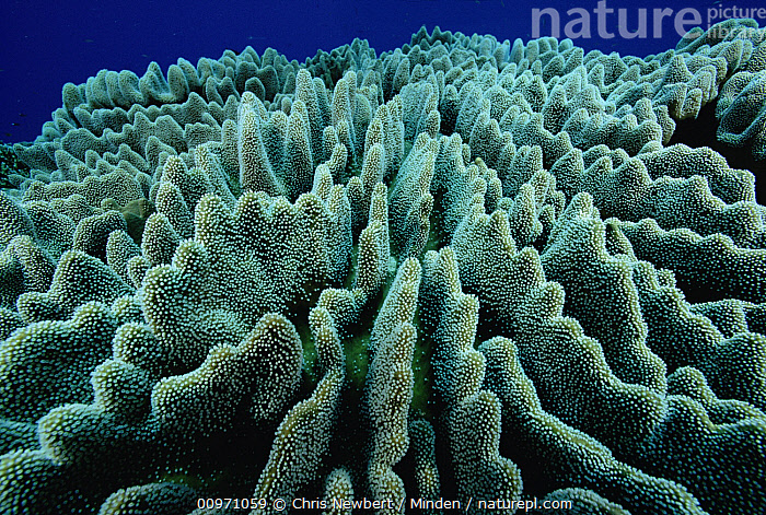 Stony Coral (Lobophyllia sp) colony, Solomon Islands  ,  Close Up, Color Image, Coral Reef, Full Frame, Green, Horizontal, Leather Coral, Lobophyllia sp, Nobody, Photography, Solomon Islands, South Pacific, Underwater, Wildlife,Stony Coral,Solomon Islands  ,  Chris Newbert