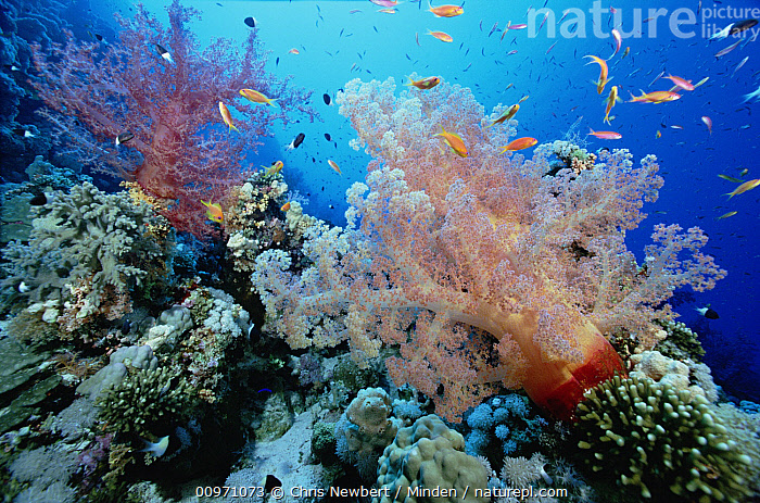 Soft Coral outcropings (Dendronephthya sp) with reef fish on coral reef, Red Sea, Egypt  ,  Biodiversity, Color Image, Colorful, Coral Reef, Day, Dendronephthya sp, Full Length, Horizontal, Large Group of Animals, Nobody, Photography, Red Sea, Reef Fish, School, Soft Coral, Underwater, Wildlife,Soft Coral,Red Sea  ,  Chris Newbert