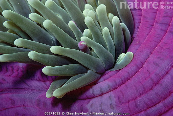 Leathery Sea Anemone (Heteractis crispa) detail, Coral Sea, Close Up, Color Image, Coral Sea, Detail, Full Frame, Green, Heteractis crispa, Horizontal, Leathery Sea Anemone, Nobody, Photography, Purple, Sea Anemone, Underwater, Wildlife,Leathery Sea Anemone,Coral Sea, Chris Newbert