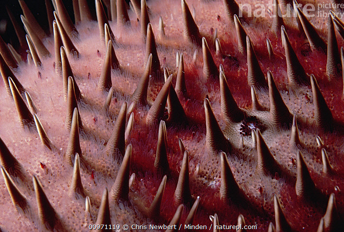 Crown-of-thorns Starfish (Acanthaster planci) detail, Kona, Hawaii, Acanthaster planci, Close Up, Color Image, Crown-of-thorns Starfish, Detail, Full Frame, Hawaii, Horizontal, Kona, Nature Pattern, Nobody, One Animal, Photography, Spine, Starfish, Underwater, USA, Venomous, Wildlife,Crown-of-thorns Starfish,Hawaii, USA, Chris Newbert