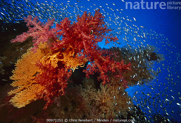 Soft Coral (Dendronephthya sp) outcroppings, Sea Fan (Subergorgia sp) and Glassfish (Parapriacanthus ransonneti), Biodiversity, Colorful, Coral Reef, Dendronephthya sp, Ecosystem, Fish, Parapriacanthus ransonneti, Photography, Red Sea, School, Schooling, Sea Fan, Soft Coral, Subergorgia sp, Underwater, Wildlife,Soft Coral,Sea Fan,Subergorgia sp,Red Sea, Chris Newbert